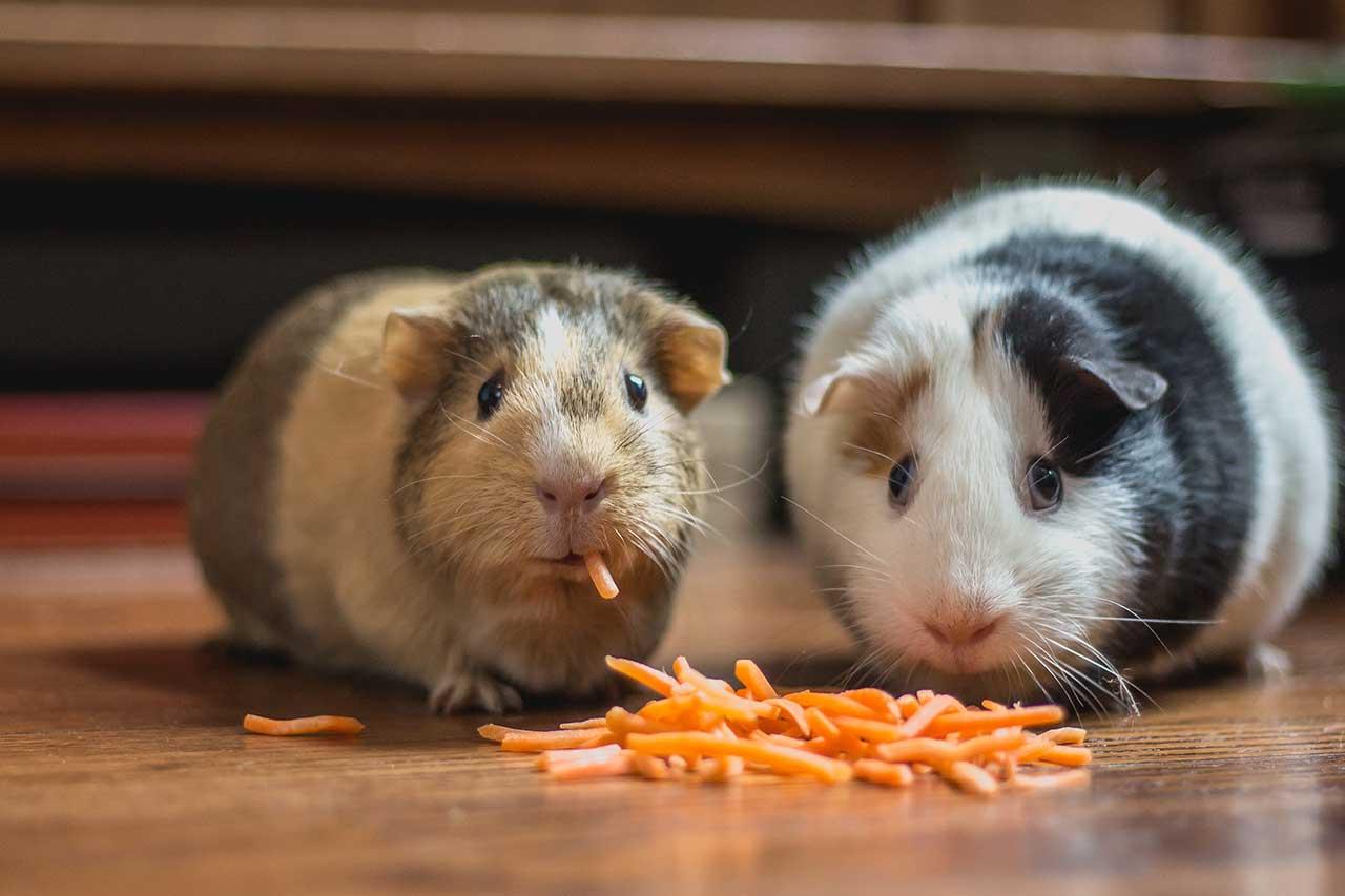 cavie che mangiano carote
