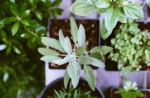 pianta di salvia
