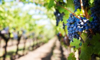 succo d uva proprietà